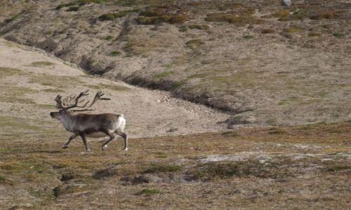 NORWEGIA / Svalbard / Dolina Ebby / Czesc renifer