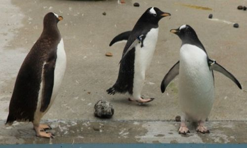 NORWEGIA / Bergen / Oceanarium / Z życia pingwinów