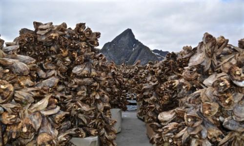 NORWEGIA / Nordland / Reine / suszone g�owy dorszy