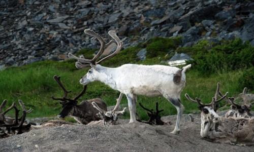 NORWEGIA / Finmark / Olderfjord / Renifery tundrowe