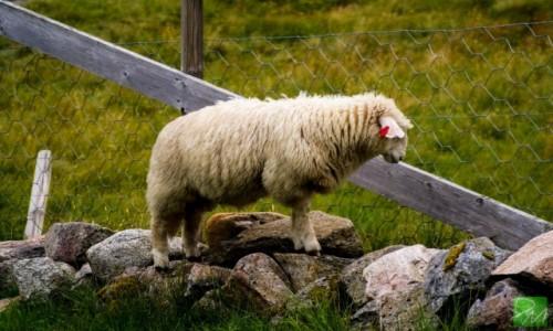 NORWEGIA / Fiordy / Stavanger / Owca