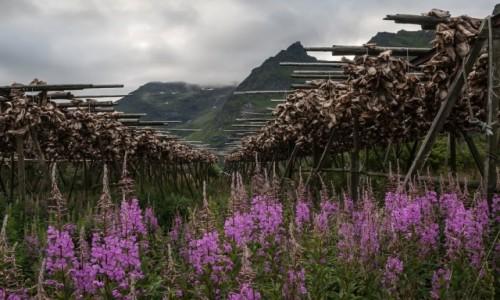 Zdjęcie NORWEGIA / płn. Norwegia / Reine / Resztki sztokfiszy....