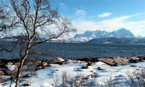 Zdjęcie NORWEGIA / Troms / Oldervik / Brzózka