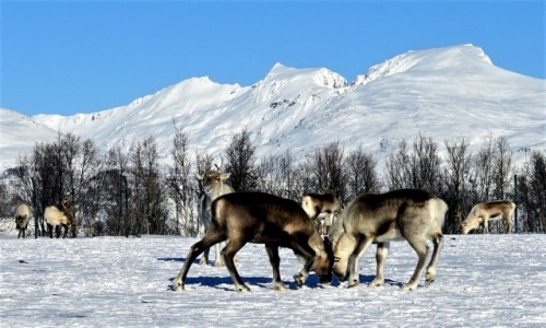 Zdjecie NORWEGIA / Troms / Tønsvik / Próba sił