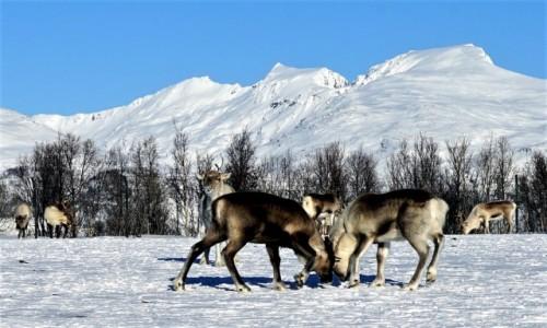 NORWEGIA / Troms / Tønsvik / Próba sił