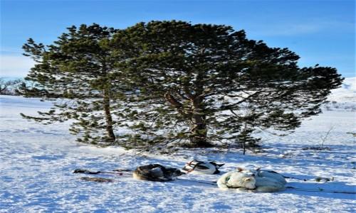 Zdjecie NORWEGIA / Troms / Kvaløya  / Puszyste kulki na śniegu