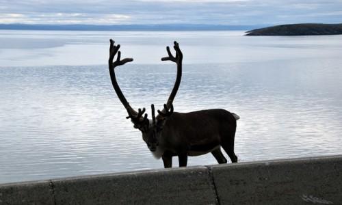 NORWEGIA / Finnmark / Porsangerfjoreden / Norweski renifer