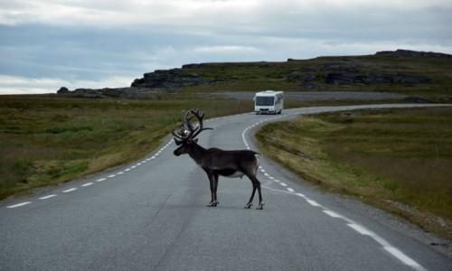Zdjecie NORWEGIA / Finnmark / Porsangerfjoreden / Norweski renifer