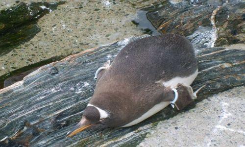 Zdjęcie NORWEGIA / Bergen / Oceanarium w Bergen / Pingwiny