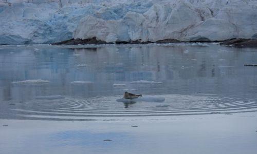 Zdjecie NORWEGIA / Svalbard / Morze Grenlandzkie / Foka na krze lo