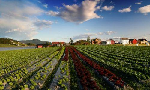 Zdjecie NORWEGIA / brak / Frosta / plantacja sałaty