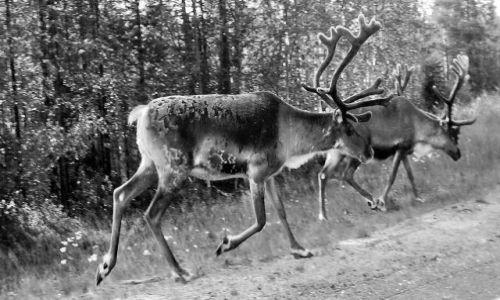 Zdjęcie NORWEGIA / Nordeland / m6 / czarno-białe renifery na drodze ! w drodze