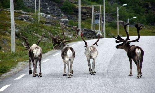 Zdjecie NORWEGIA / Nordkapp / Norwegia Północna / Reniferki są u siebie:)