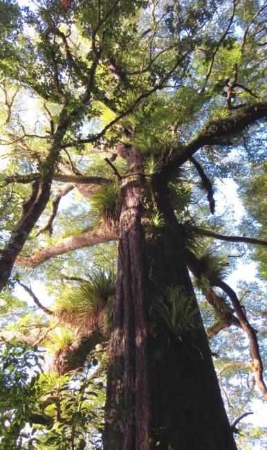 Zdjęcia: Park Narodowy Tongariro, Wyspa Północna, Las z paprociami drzewiastymi, NOWA ZELANDIA