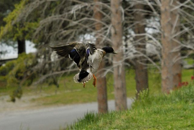 Zdjęcia: wyspa poludniowa, ladujaca kaczka, NOWA ZELANDIA