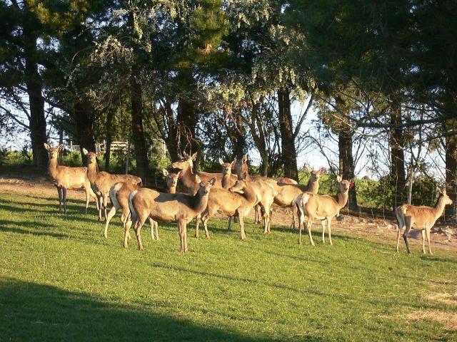 Zdjęcia: Nelson, Zatoka Tasmana, Wyspa Poludniowa, Na farmie jeleni, NOWA ZELANDIA