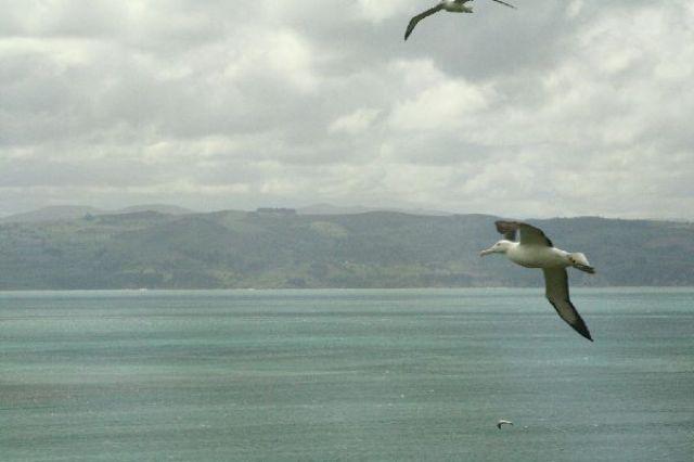 Zdjęcia: Otago Peninsula, Albatrosy królewskie - największe morskie ptaki na świecie, NOWA ZELANDIA