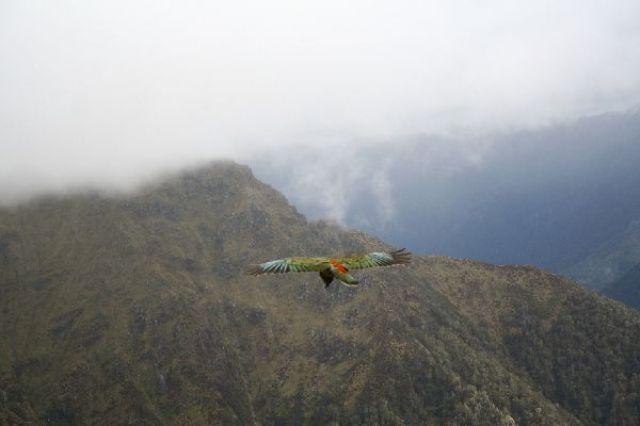 Zdj�cia: Kepler Track, Kea - alpejska papuga, szczeg�lnie lubi dziobac gumowe uszczelki w samochodzach, NOWA ZELANDIA