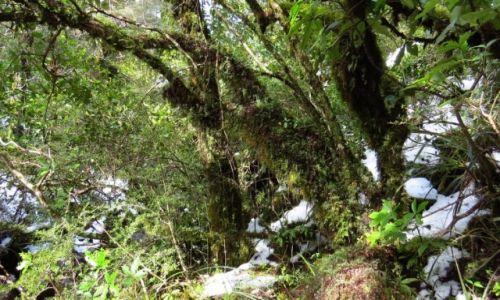 NOWA ZELANDIA / Wyspa Północna / Park Narodowy Tongariro / Las