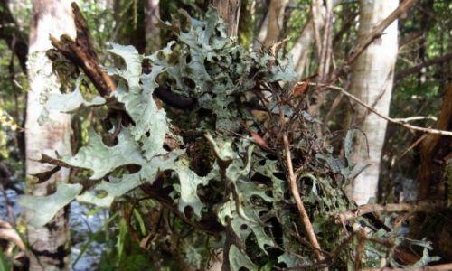 NOWA ZELANDIA / Wyspa Północna / Park Narodowy Tongariro / Porosty