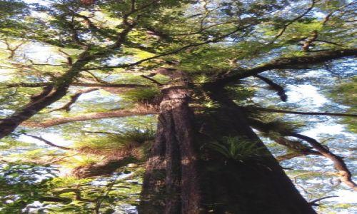 NOWA ZELANDIA / Wyspa Północna / Park Narodowy Tongariro / Las z paprociami drzewiastymi