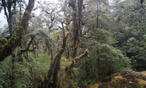 Zdjecie NOWA ZELANDIA / Wyspa Po�udniowa / Fiordlandia / Buczyna Nowozel