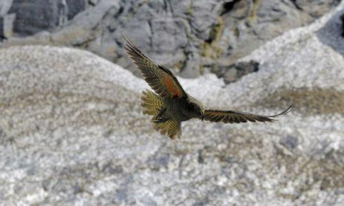 Zdjęcie NOWA ZELANDIA / brak / wyspa polodniowa / Kea