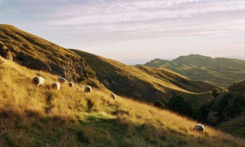 Zdjecie NOWA ZELANDIA / Wyspa Północna / okolice Hastings / wzgórza kraju 30 milionów owiec