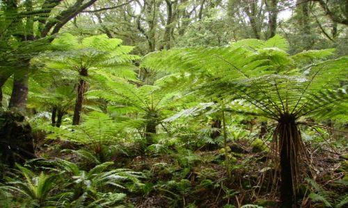 Zdjęcie NOWA ZELANDIA / Wyspa Południowa / Milford Sound / paprocie drzewiaste