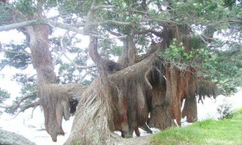 Zdjecie NOWA ZELANDIA / Wyspa Północna / półwysep Coromandel / drzewo -futrzak