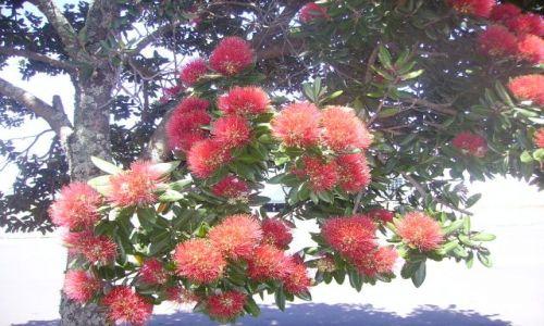 Zdjęcie NOWA ZELANDIA / Wyspa Północna / Auckland / kwitnace drzewa Pohutu