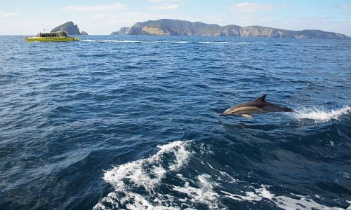 Zdjecie NOWA ZELANDIA / Northland / Bay of Islands / delfin