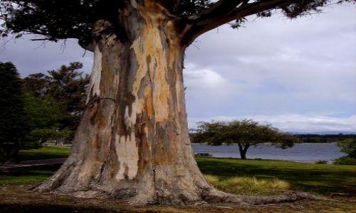 Zdjecie NOWA ZELANDIA / Poludniowa Wyspa / Te Ananu / drzewo o malowanym pniu - ciekawostka dla przyrodników