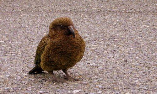 Zdjecie NOWA ZELANDIA / -Południowa Wyspa / w okolicy Milford Sound / Kea - piękne, ale złośliwe ptaszysko - pod ochroną