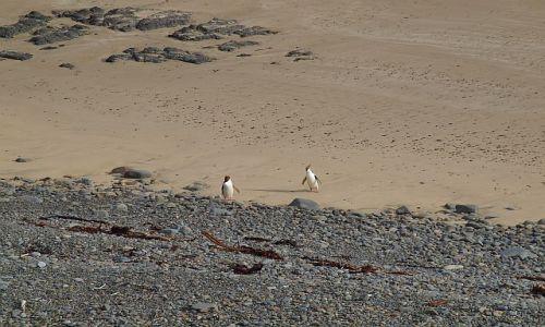Zdjecie NOWA ZELANDIA / South Island / Oamaru / pingwiny