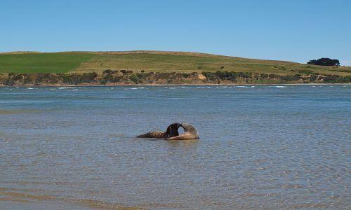 Zdjecie NOWA ZELANDIA / South Island / The Catlins, Surat Bay / sea lions