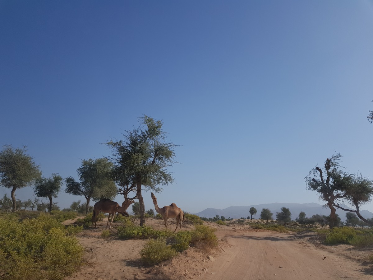 Zdjęcia: Pusrynia, Pustynia, Wielbłąd, OMAN