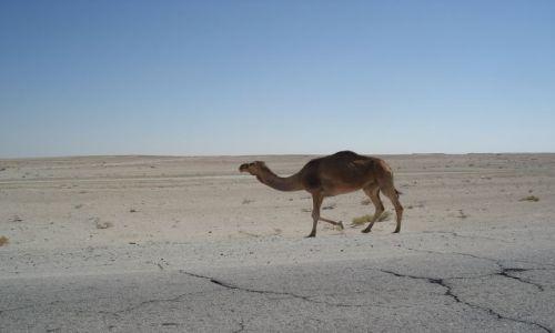 Zdjęcie OMAN / Hayma / trasa Hayma - Salalah / Wielbłąd