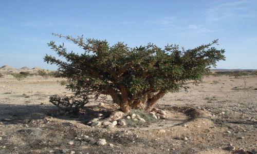 OMAN / Dhofar / Salalah / Kadzidłowiec