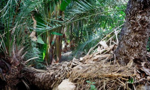 Zdjęcie OMAN / Okolice Qurayyat / Wadi Dayqah Dam / Zimowe palmy