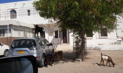 Zdjęcie OMAN / Sur / Sur / Wszedobylskie omanskie kozy.