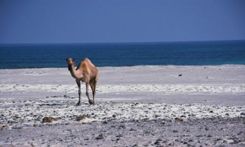 Zdjecie OMAN / Masirah Island / Masirah Island / Zwierzę plażowe