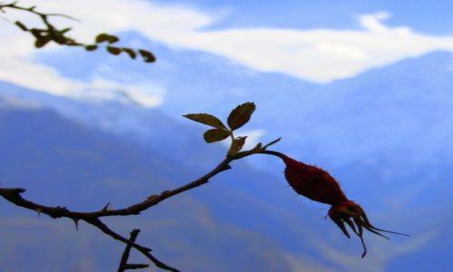 Zdjęcie PAKISTAN / Hunza / Hunza / Kwiat  w  Karakorum