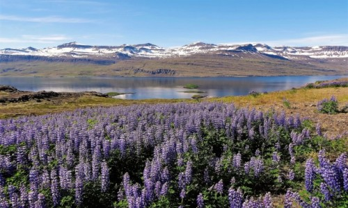 ISLANDIA / północna część wyspy,ale fioletowo jest wszędzie / Eyjafjörður / Czerwiec wokół fioletowy łubinami