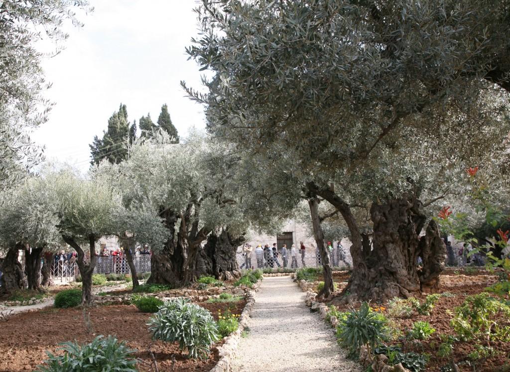 Zdjęcia: Góra Oliwna, Jerozolima, Gaj Oliwny, PALESTYNA