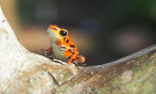 Zdjecie PANAMA / Bocas del Toro / bastimentos / Red frog