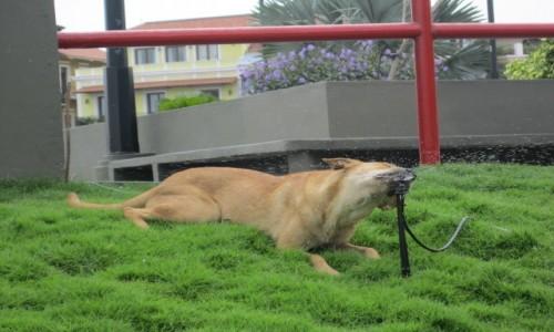 Zdjecie PANAMA / Panama / Panama / Spragniony pies