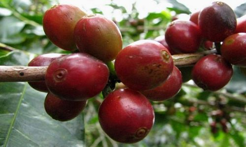 Zdjecie PANAMA / Chiriqui Province / Boquete  / ech ta kawa...