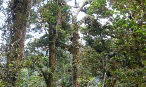 Zdjecie PANAMA /   / Sendero de Quetzales / drzewa - las ch