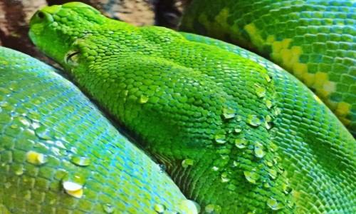 Zdjęcie PAPUA NOWA GWINEA / Milne Bay / Alotau / Zielony Pyton